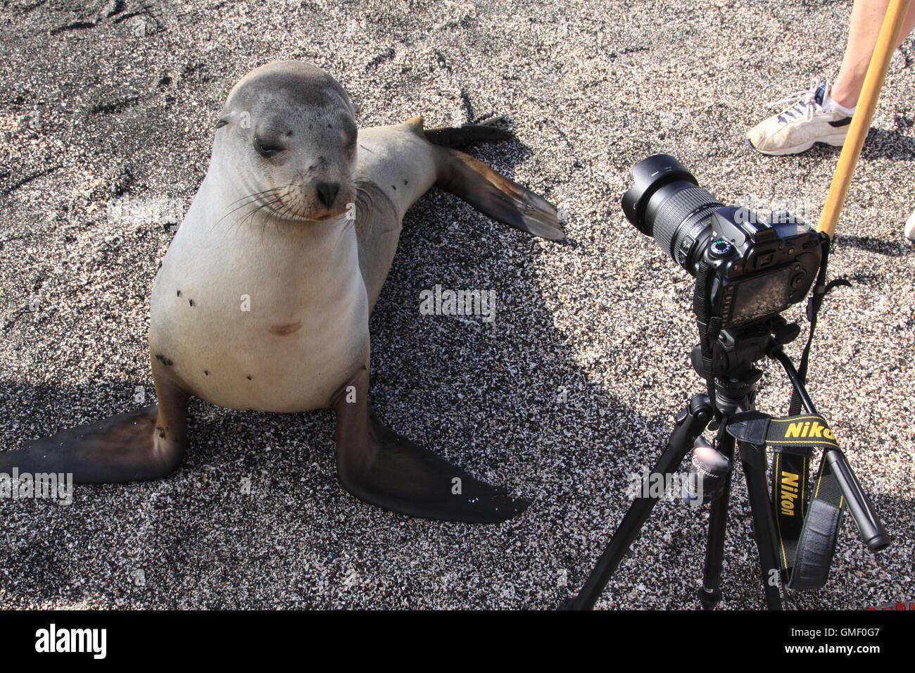Les jeunes, des enquêtes sur un lion de mer curieux appareil photo Nikon, le trépied et les humains dans Photo Stock