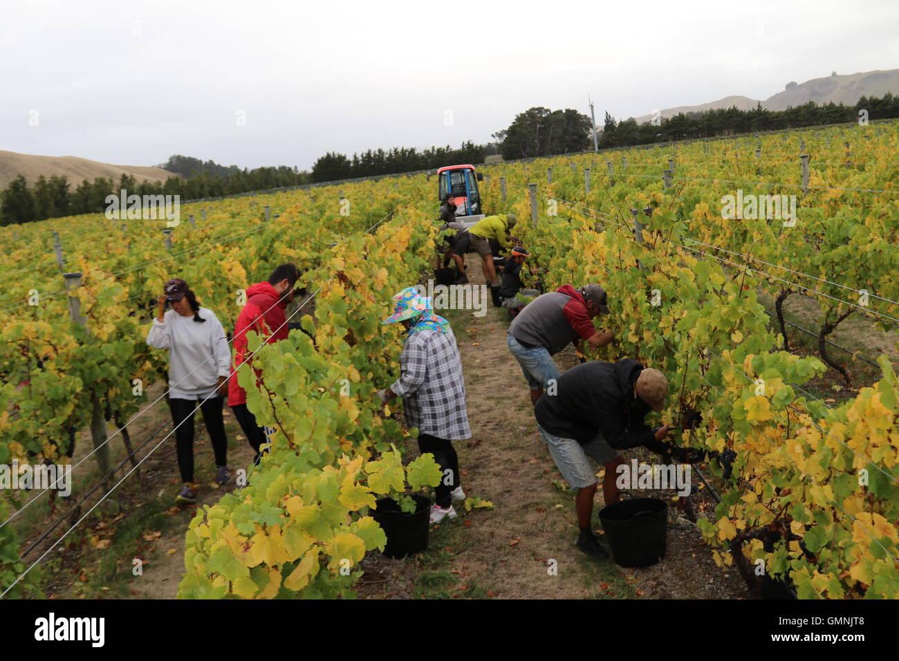 L'escarpement de vendangeurs au vignoble, Martinborough, Nouvelle-Zélande Photo Stock