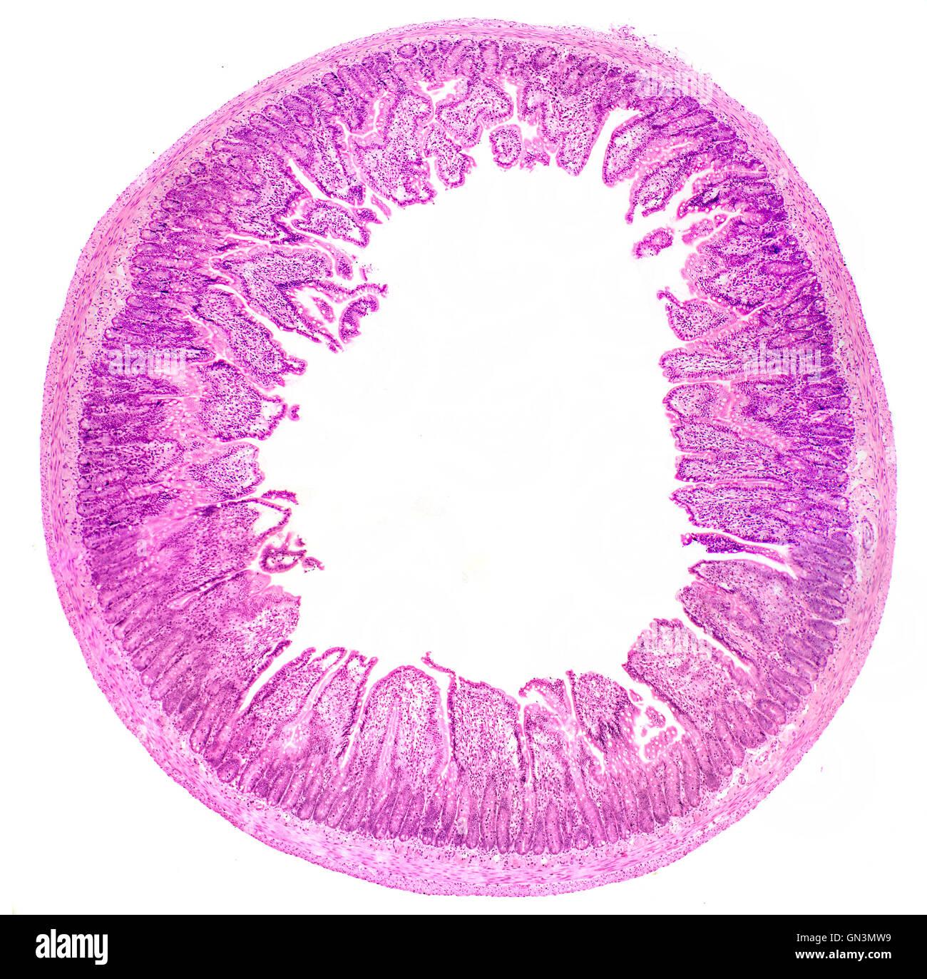Petit intestin ts fond clair Photomicrographie montrant la muqueuse villosités intestinales et des cryptes Photo Stock
