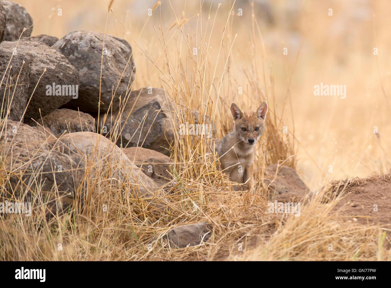 Cub d'un chacal doré (Canis aureus), également appelé l'asiatic, oriental ou chacal commun près de sa tanière, photographié en Israël je Banque D'Images