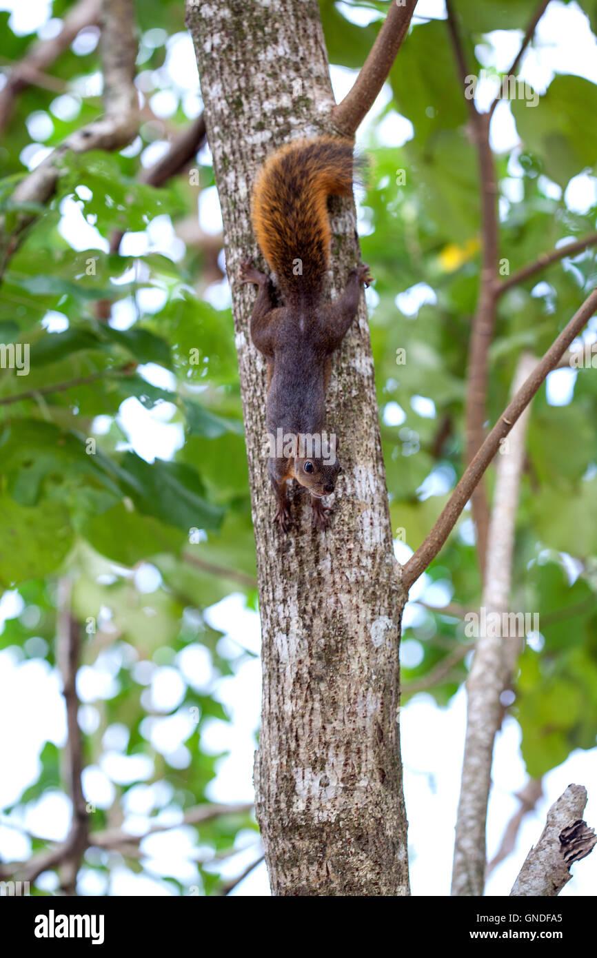 L'écureuil à queue rouge / Costa Rica / Costa Rica Photo Stock