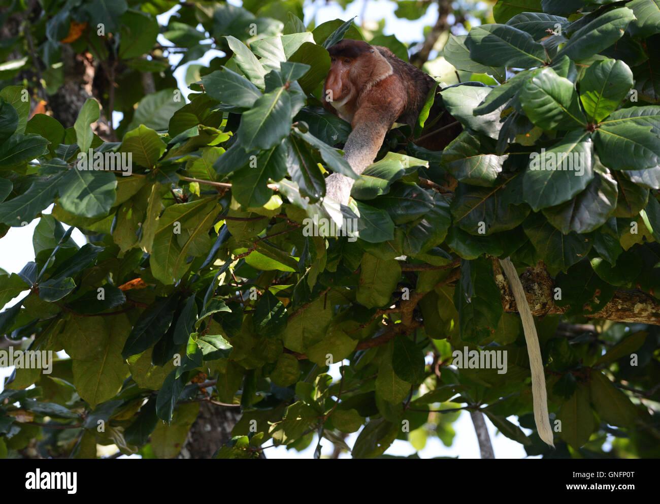 Un Proboscis Monkey manger les jeunes feuilles sur un arbre. Or un chat annelés serpent est juste en dessous de lui. Banque D'Images
