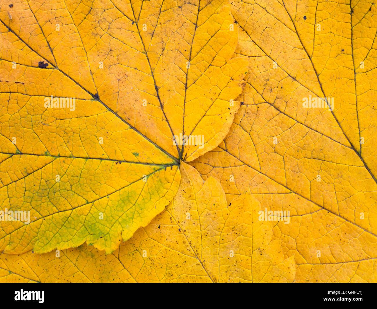 Les feuilles d'automne jaune vif avec des veines d'arrière-plan gros plan Photo Stock