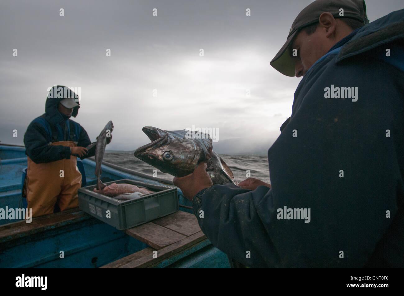 Pêche à la ligne pour la Sierra (Scomberomorus sierra) Photo Stock