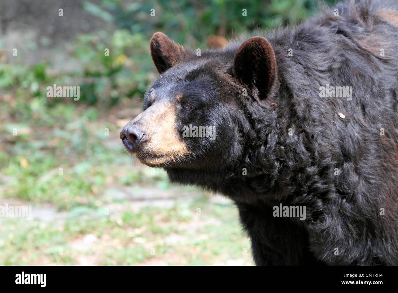 Ours noir, Ursus americanus, au popcorn Park Zoo Animal Rescue, sanctuaire de la rivière fourchue, New Jersey, Photo Stock