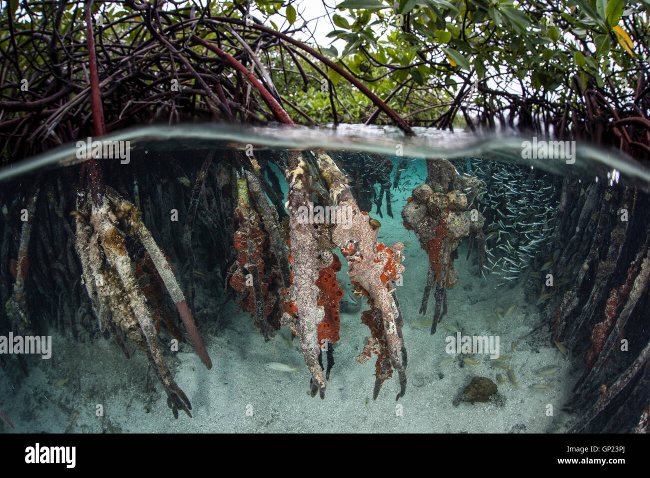 Les mangroves de l'écosystème, Rhizophora, Turneffe Atoll, des Caraïbes, le Belize Photo Stock