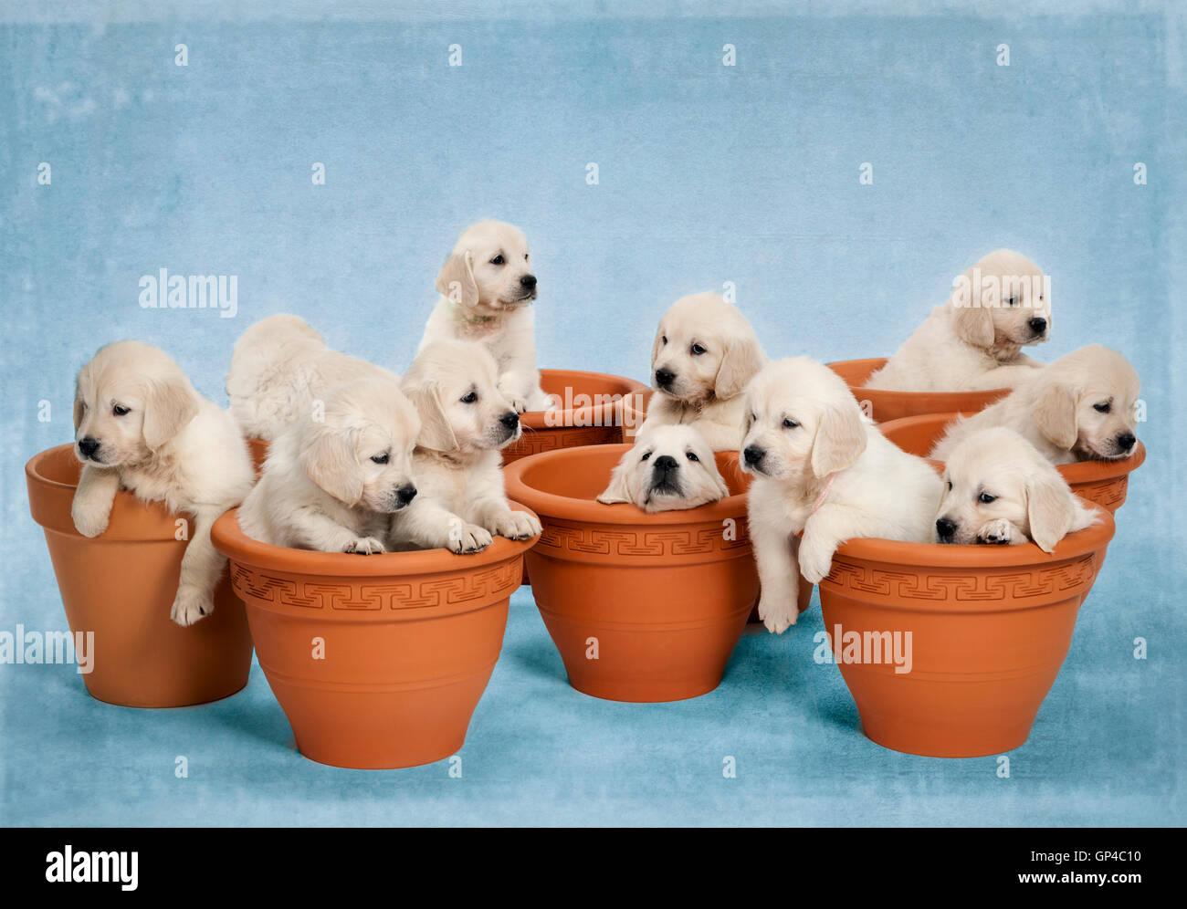 Studio photo de 11 - blanc - beige platine chiots Golden Retriever dans les pots de fleurs. Photo Stock