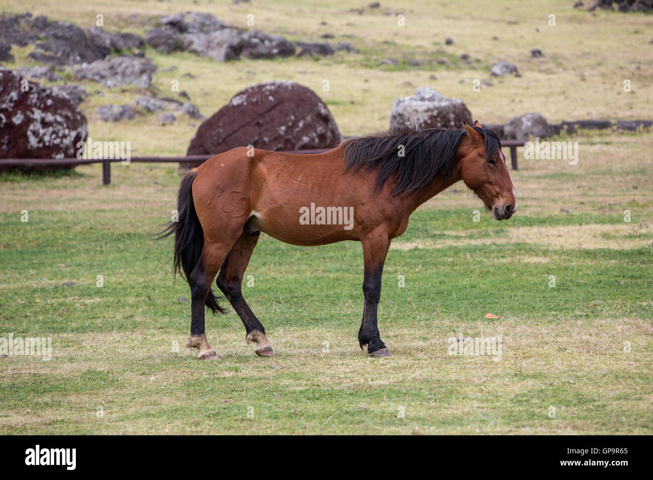 Un cheval sauvage sur l'île de Pâques Photo Stock