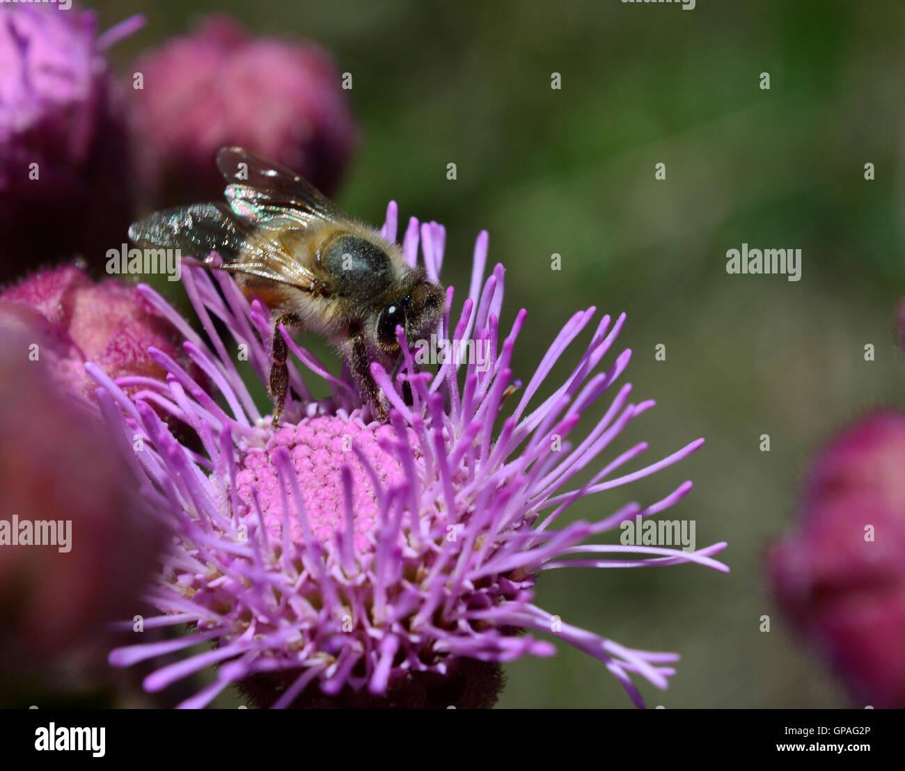 Close up macro d'abeilles sauvages qui travaillent dur et butiner sur un nectar pourpre rose fleur sauvage pom Photo Stock