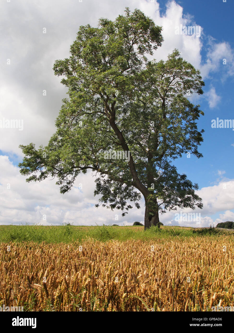 Frêne en bonne santé dans le Derbyshire, avec champ de blé en premier plan. Avec le dépérissement Photo Stock