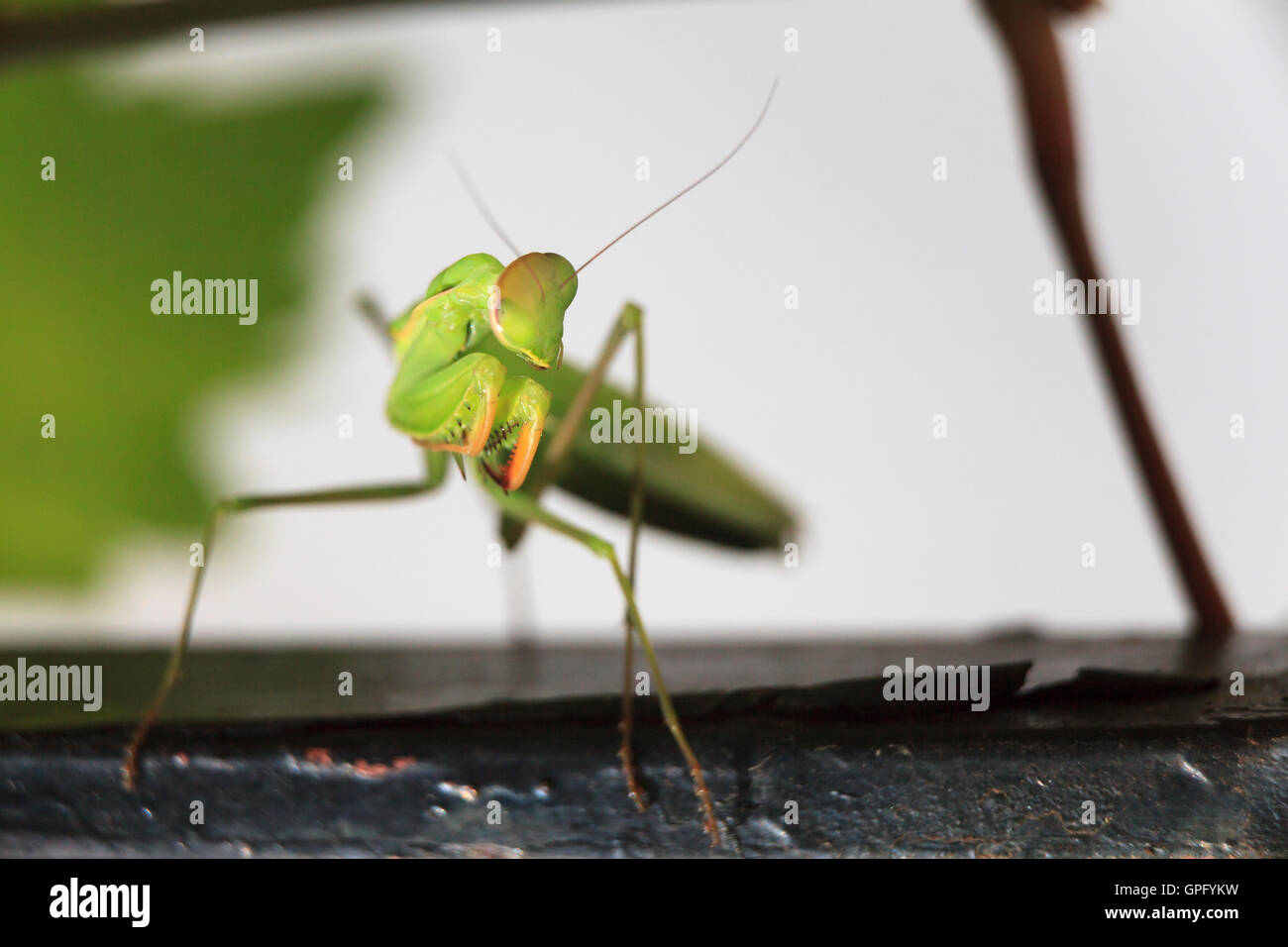 La mante religieuse Mantis religiosa close up Photo Stock