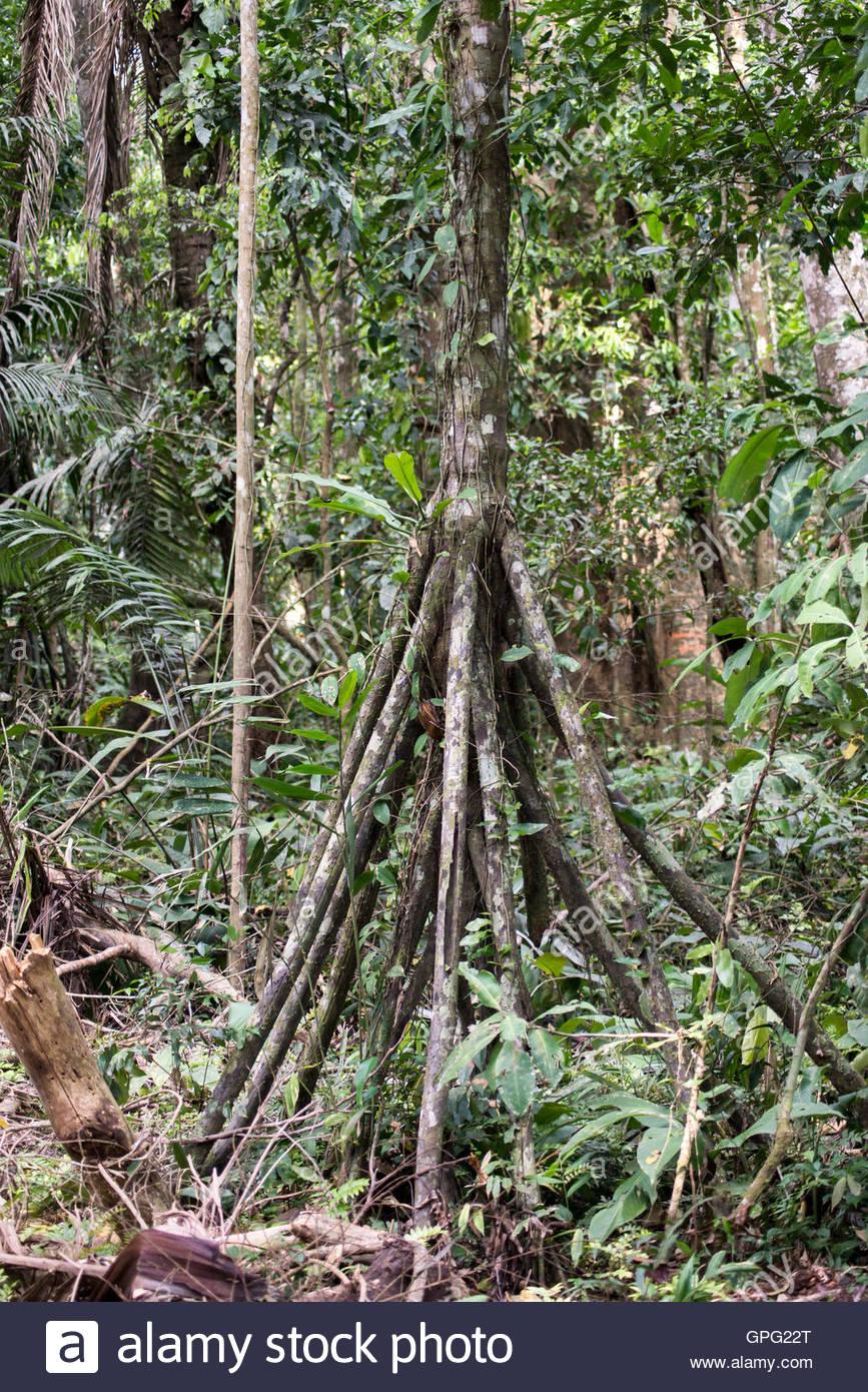 Palm marche ou cashapona arbre. La réserve de Tambopata, forêt amazonienne, le Pérou Photo Stock