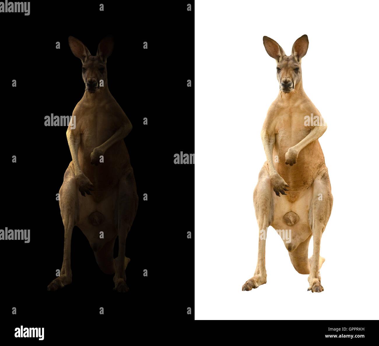 Kangourou Kangourou et isolé dans le noir Photo Stock