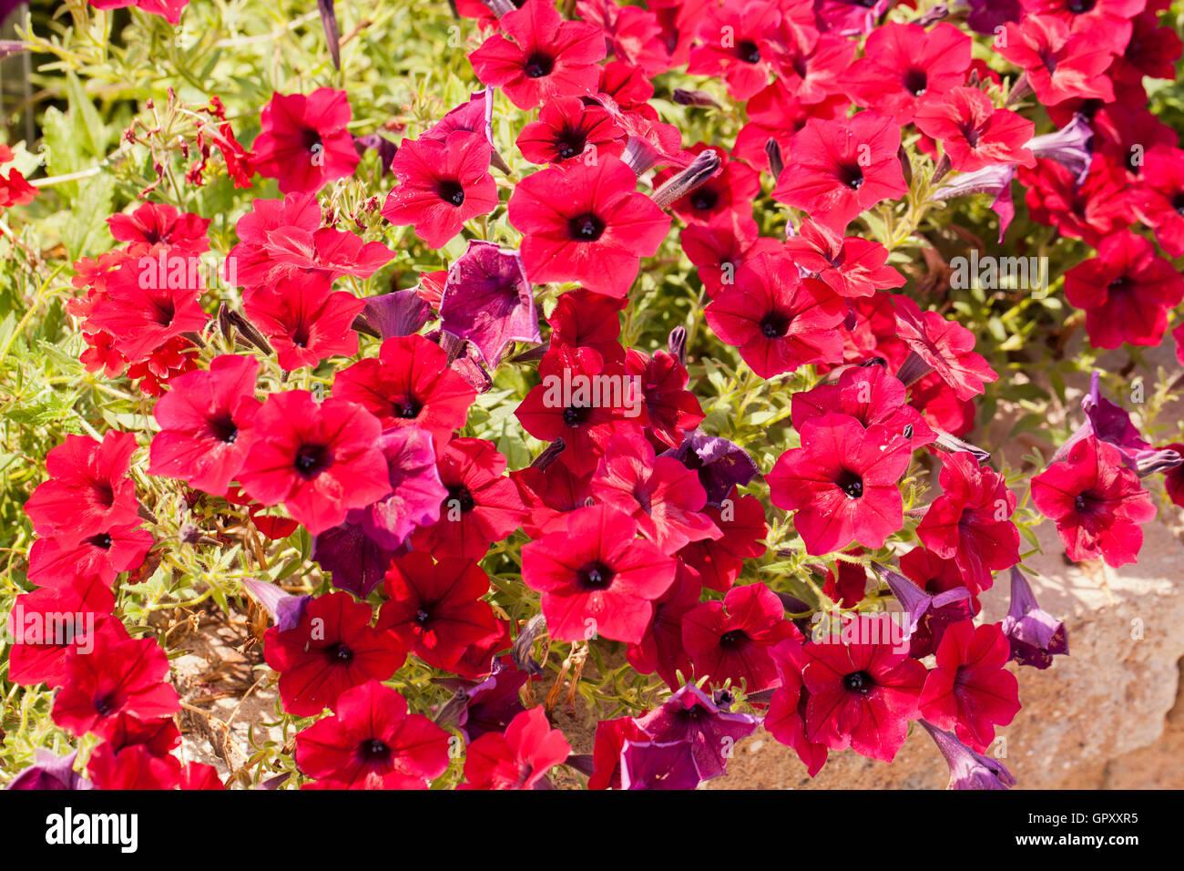 Verveine fleurs de jardin (Verveine) - USA Banque D\'Images, Photo ...