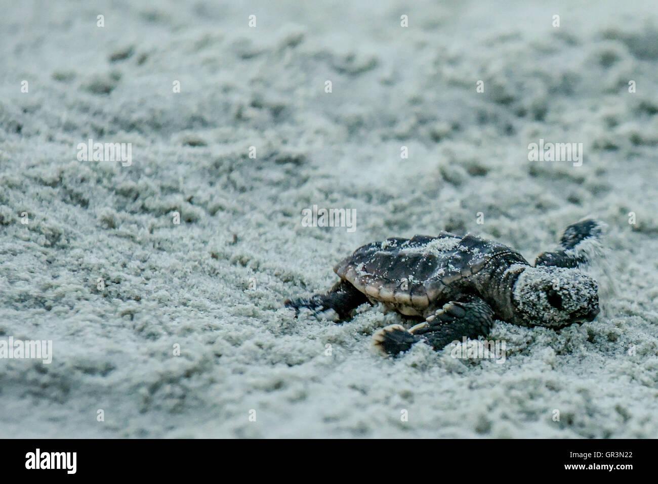 Bébé tortue caouane Caretta caretta - incubation   Caroline du Nord - Sunset Beach   les jeunes tortues menacées Banque D'Images