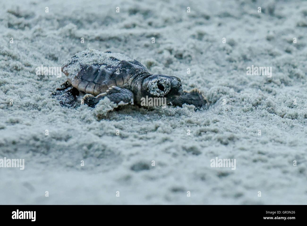 Bébé tortue caouane Caretta caretta - incubation | Caroline du Nord - Sunset Beach | les jeunes tortues menacées Banque D'Images