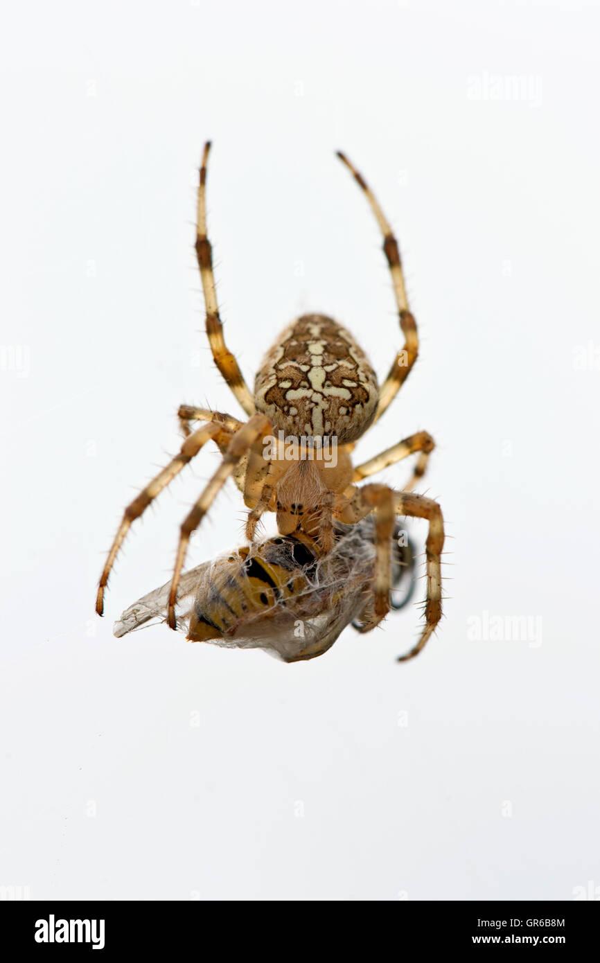 Le jardin européen, araignée Araneus diadematus, sur son site web avec wasp proies dans un cocon de soie Photo Stock