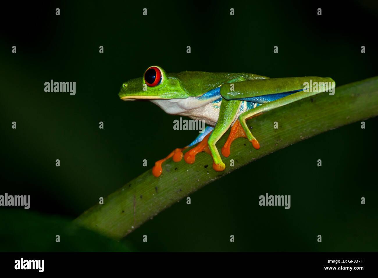Rainette des yeux rouges (agalychnis callidryas) à la Station biologique de La Selva, Costa Rica Photo Stock