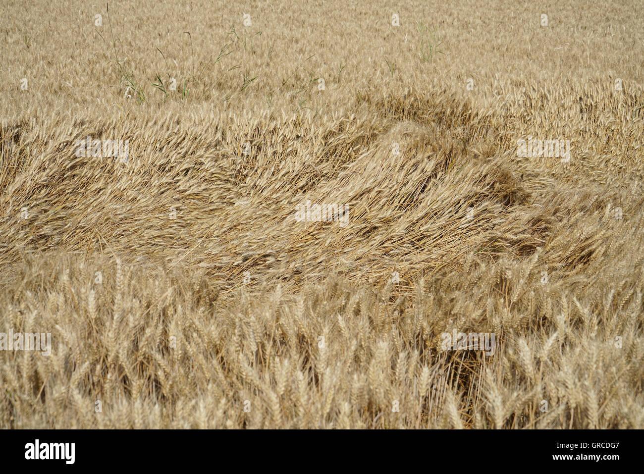 Avec un champ de tiges baissés Photo Stock