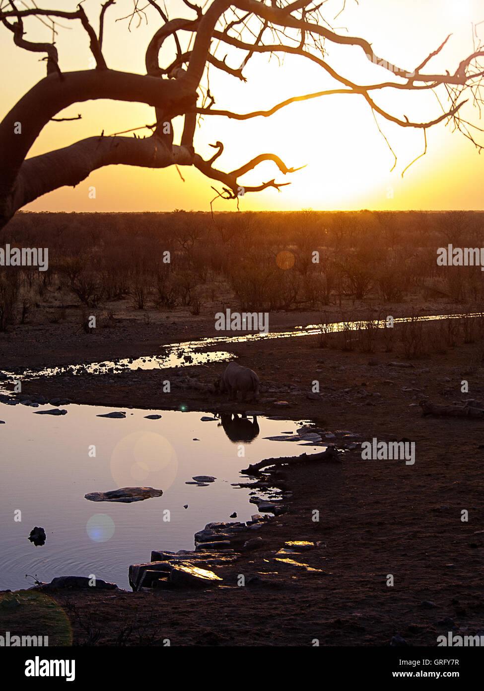 Le rhinocéros dans le Parc National d'Etosha, Namibie, au coucher du soleil Photo Stock