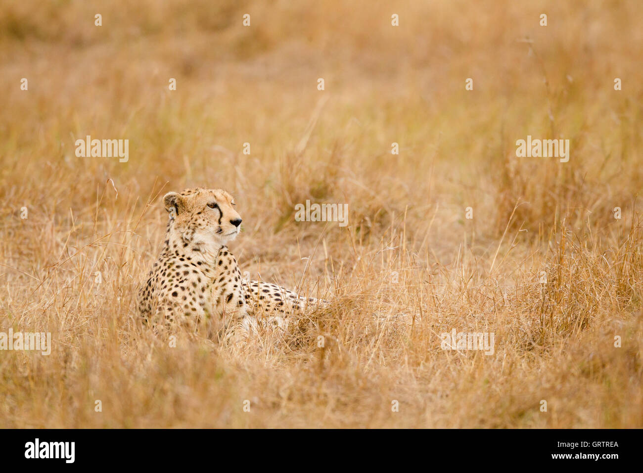 Cheetah dans l'herbe Photo Stock