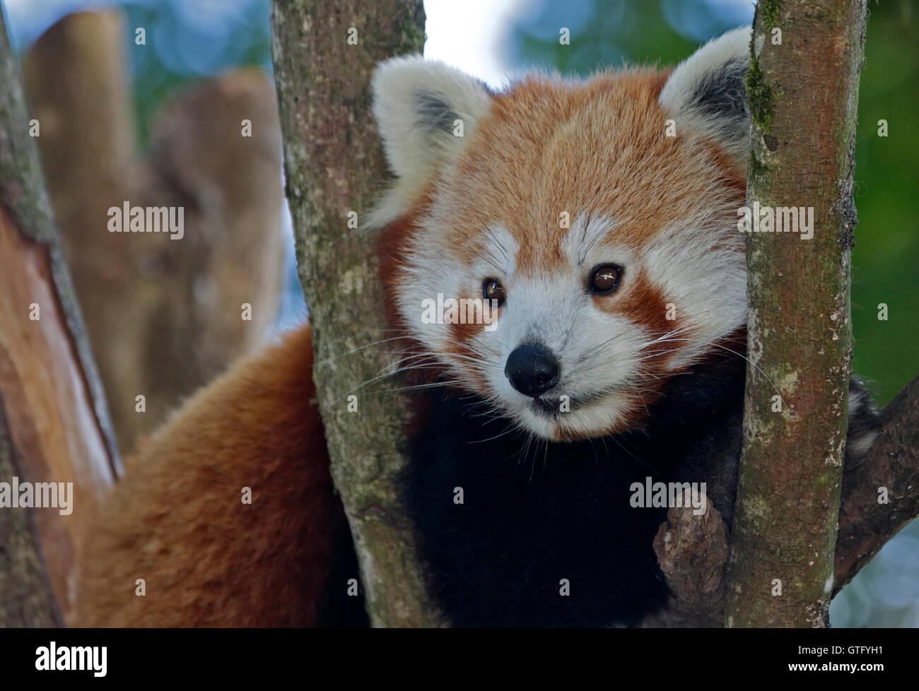Le panda rouge (Ailurus fulgens) Banque D'Images