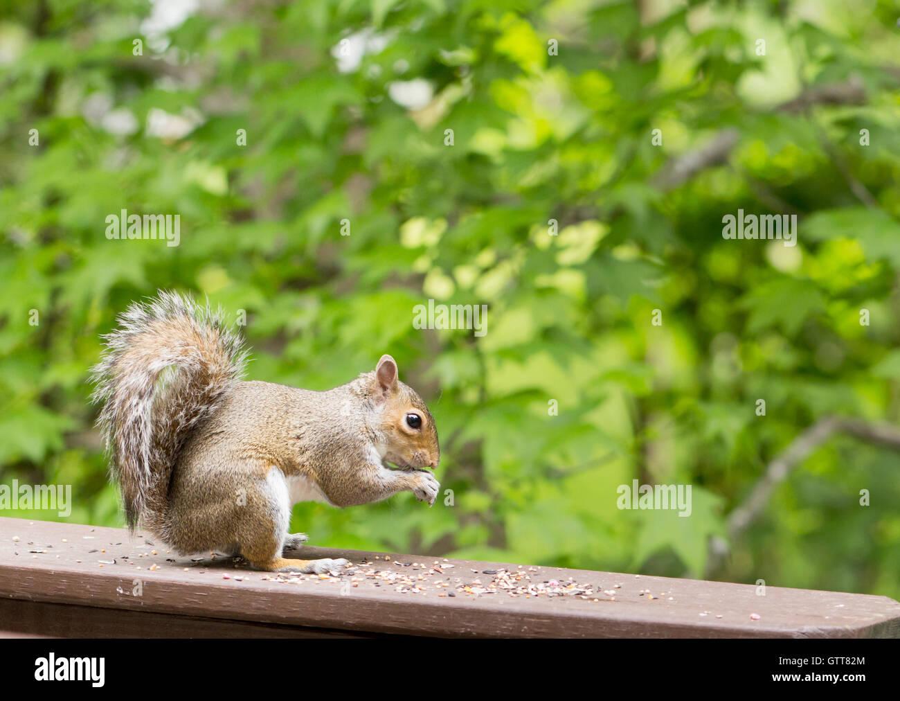 L'écureuil gris de l'eating seeds en position assise sur le pont de fer, à fond vert foncé. Photo Stock