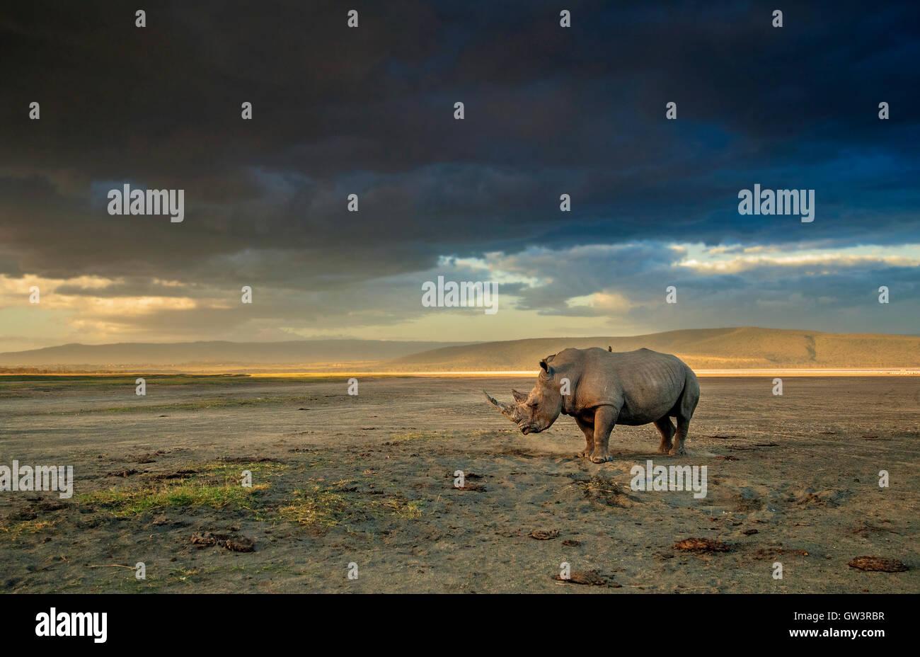 Rhino dans une tempête. Le lac Nakuru, Kenya Photo Stock