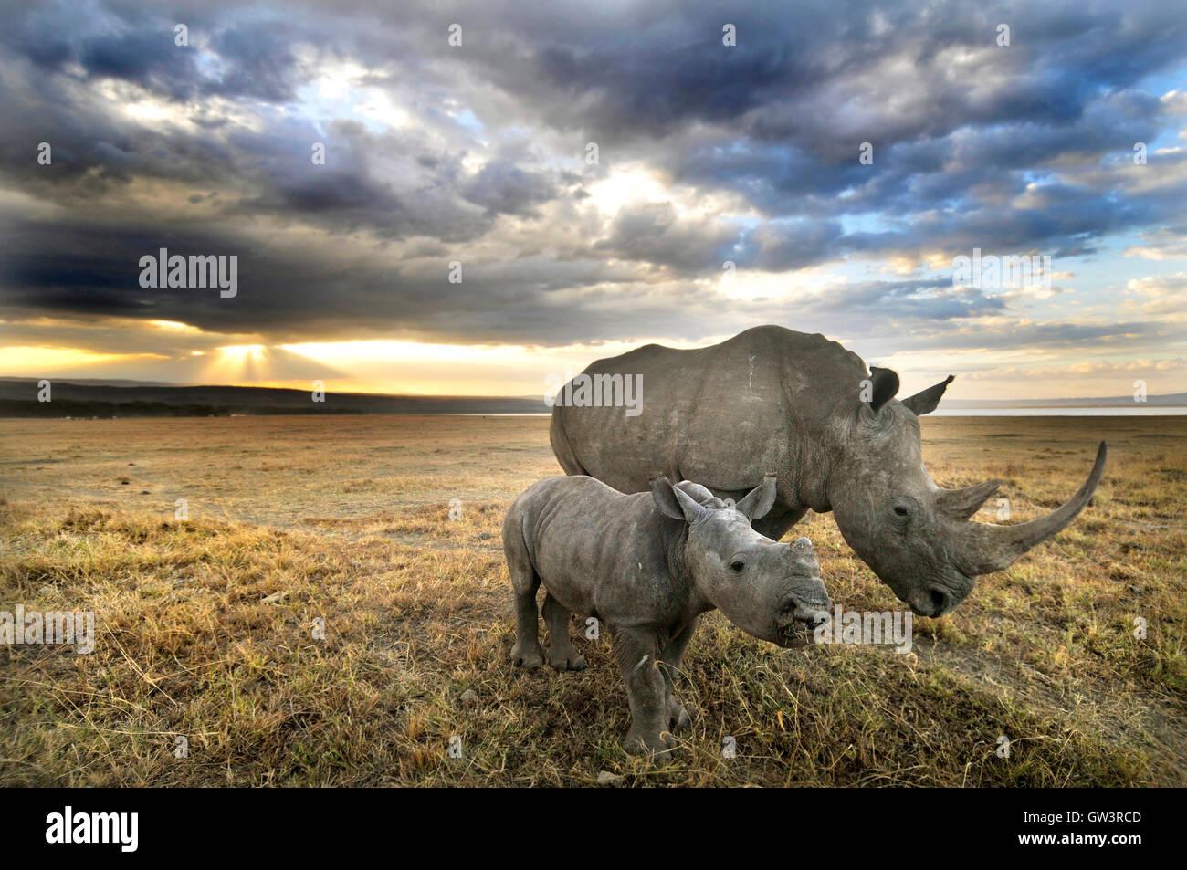 Mère avec bébé rhinocéros au coucher du soleil Photo Stock