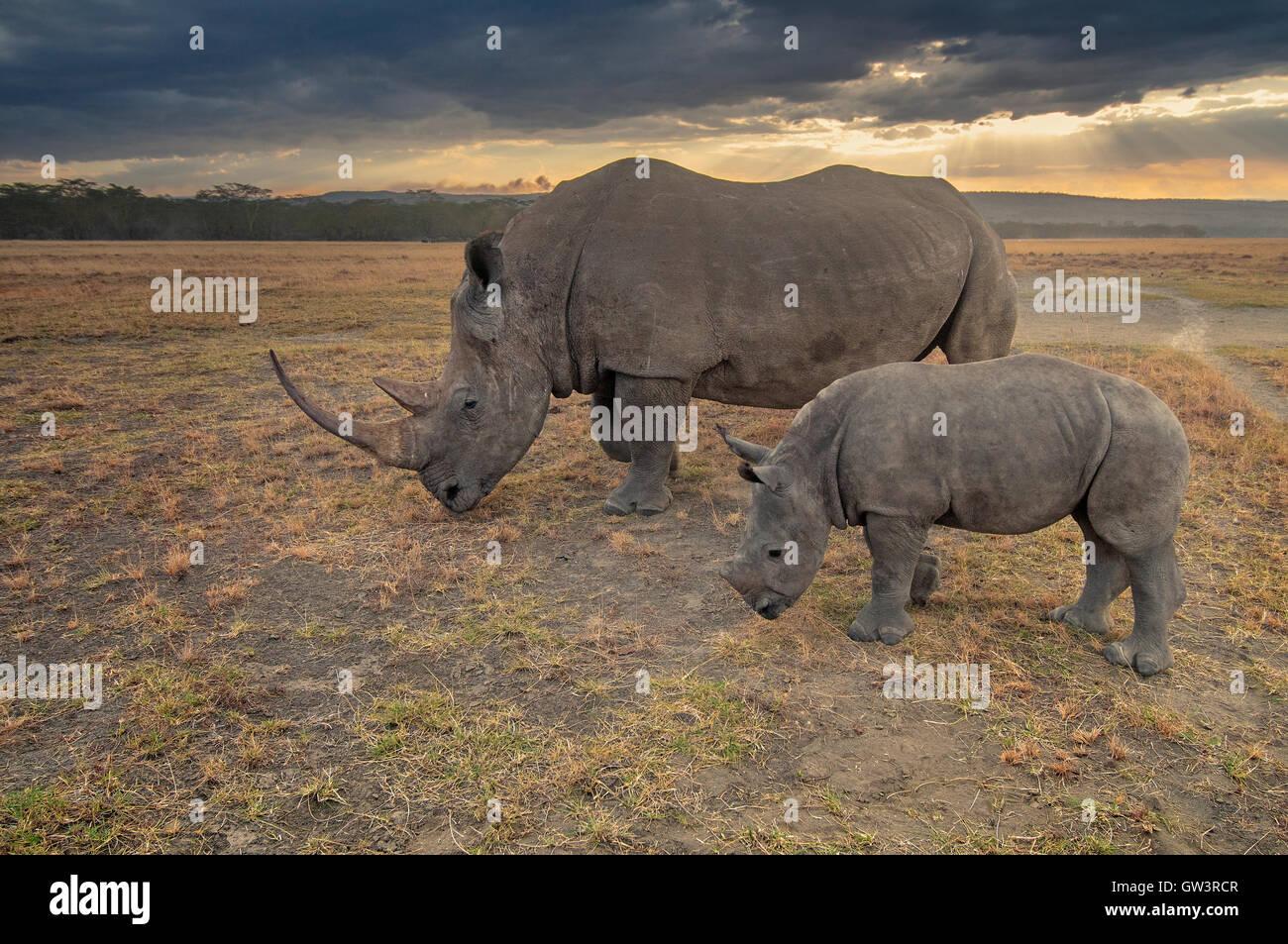 Rhino et bébé Photo Stock