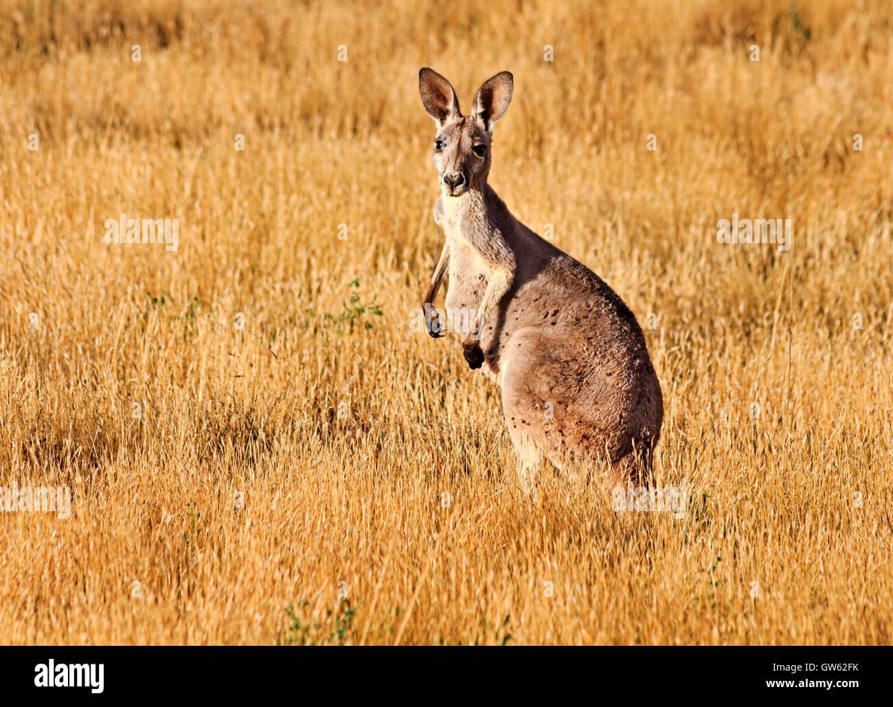 De haut standing kangourou brun au milieu d'herbe jaune outback plaine de l'Australie du Sud Photo Stock
