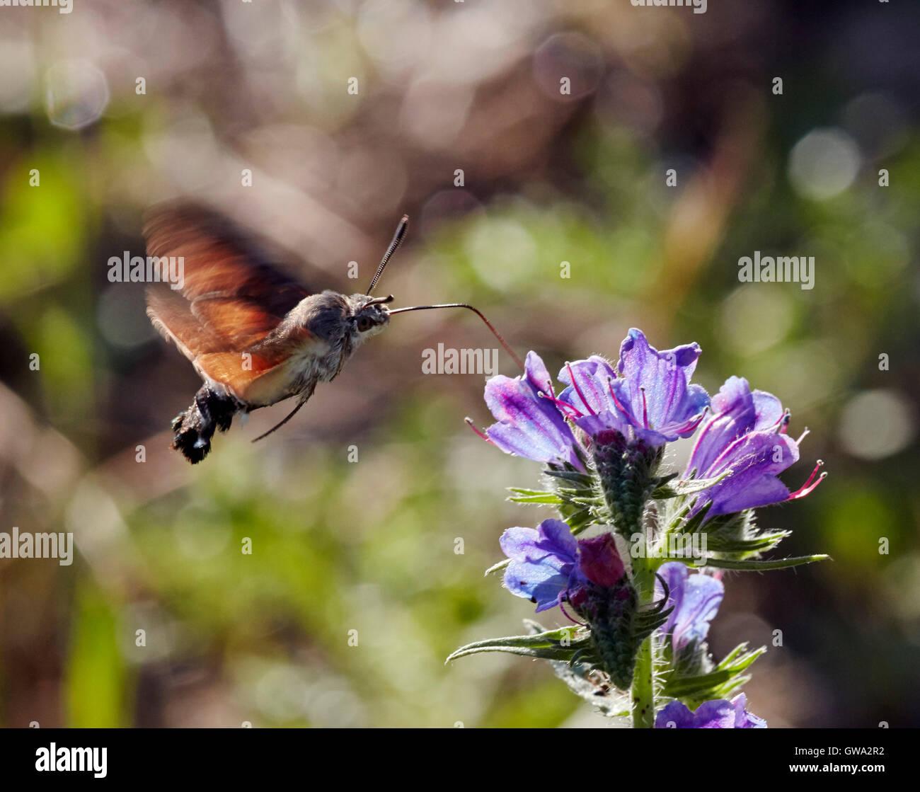 Humming-bird de nectar sur le Sphynx Viper Vipérine commune. Près de Chambéry, Savoie, France. Photo Stock