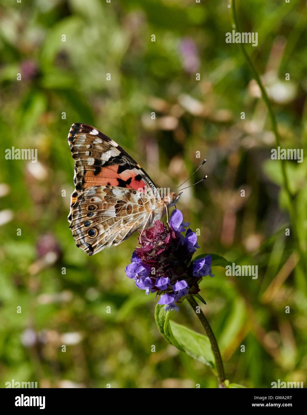 Papillon belle dame sur selfheal fleur. Photo Stock