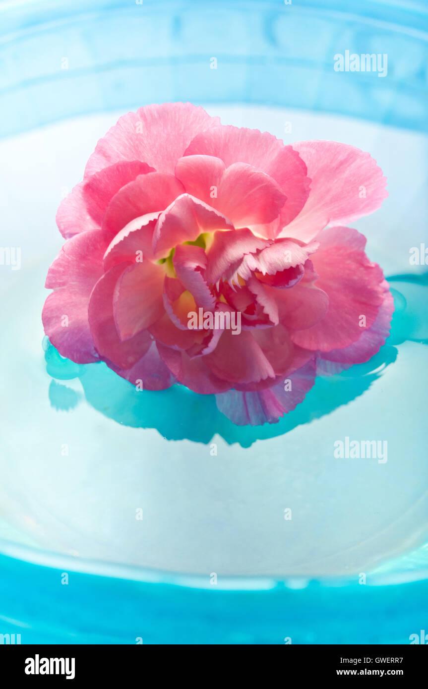 Fleur oeillet rose dans l'eau, la méditation et la pleine conscience Photo Stock
