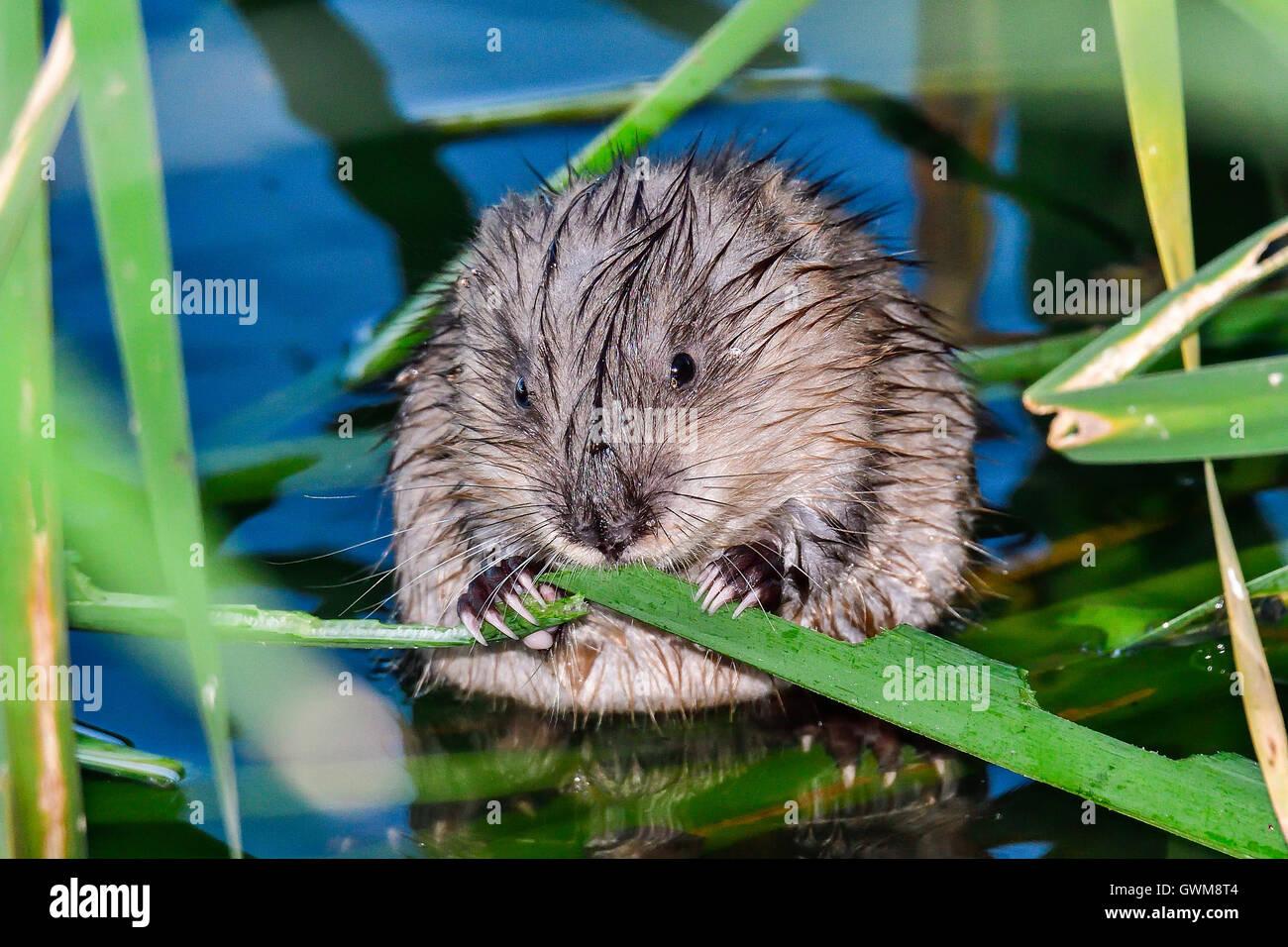 Rat musqué Photo Stock