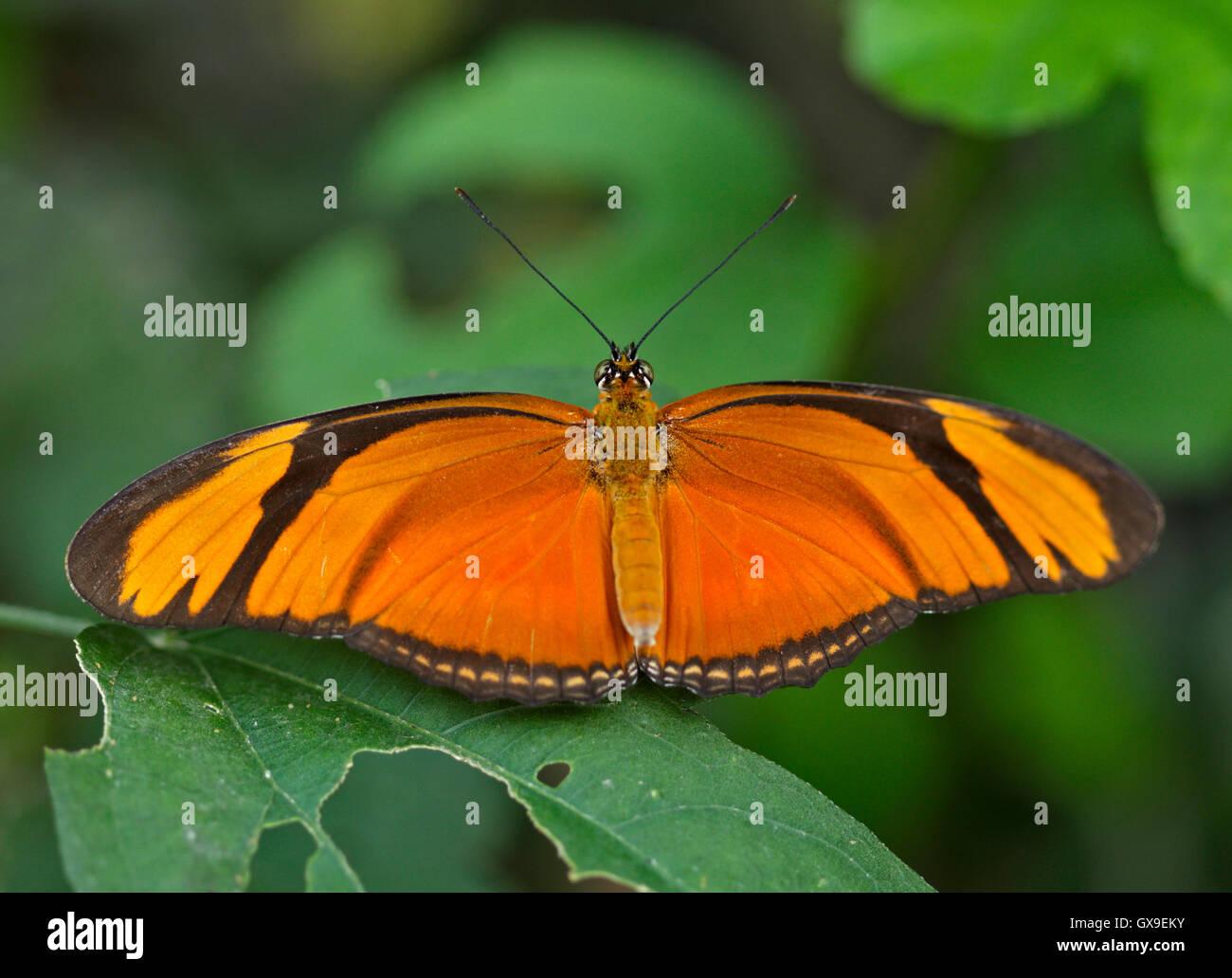 Julia Butterfly (dryas iulia) Photo Stock