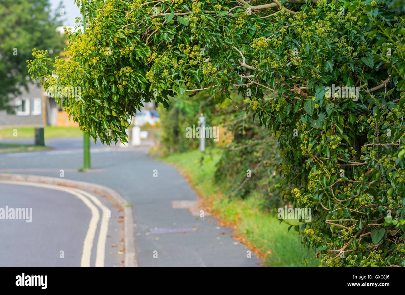 Les buissons surplombant la chaussée. Photo Stock