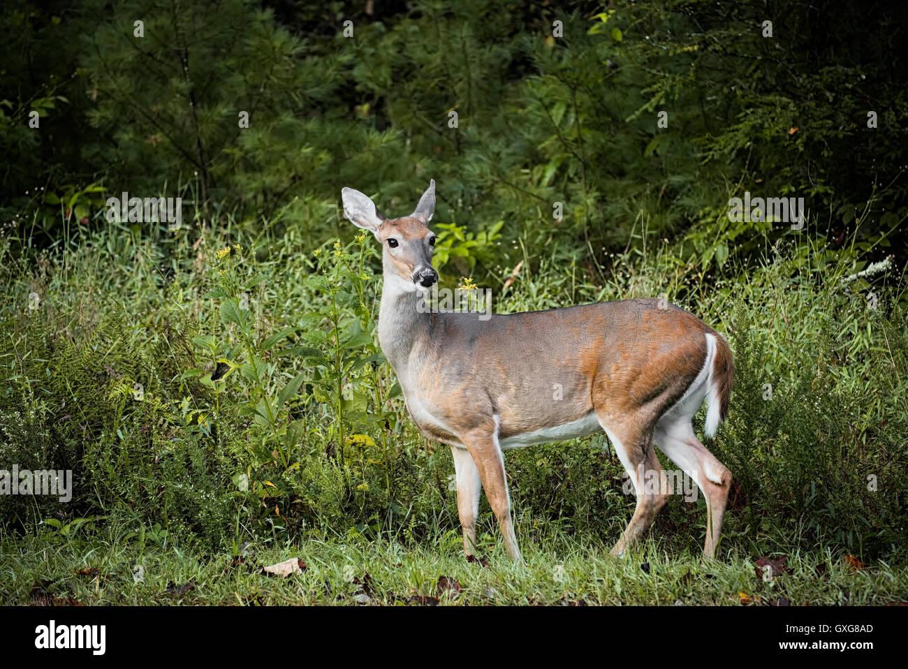 Dans Deer Stone Mountain State Park. Roaring Gap de la faune de la Caroline du Nord Photo Stock