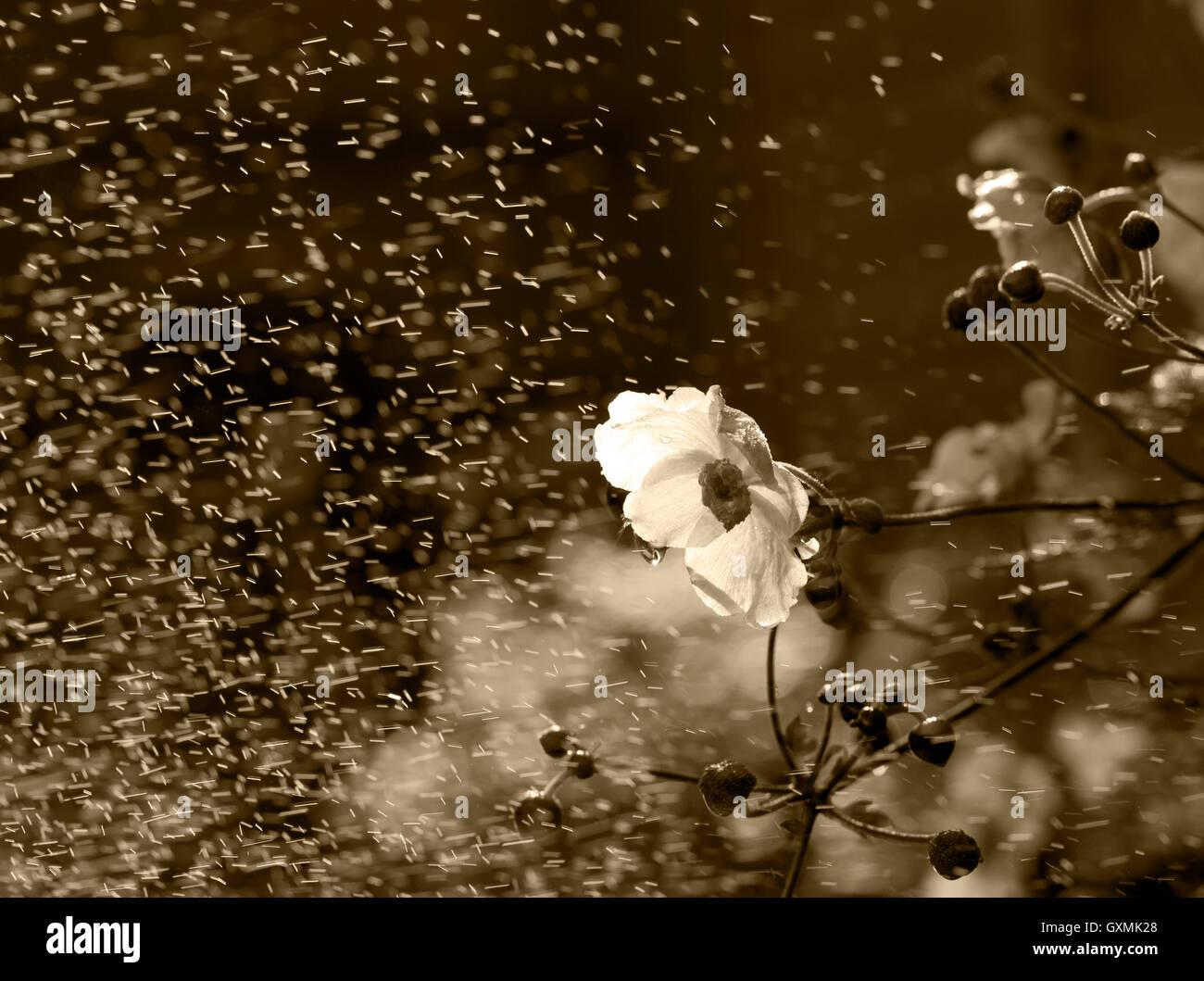 Sous la pluie de fleurs monochromes Photo Stock