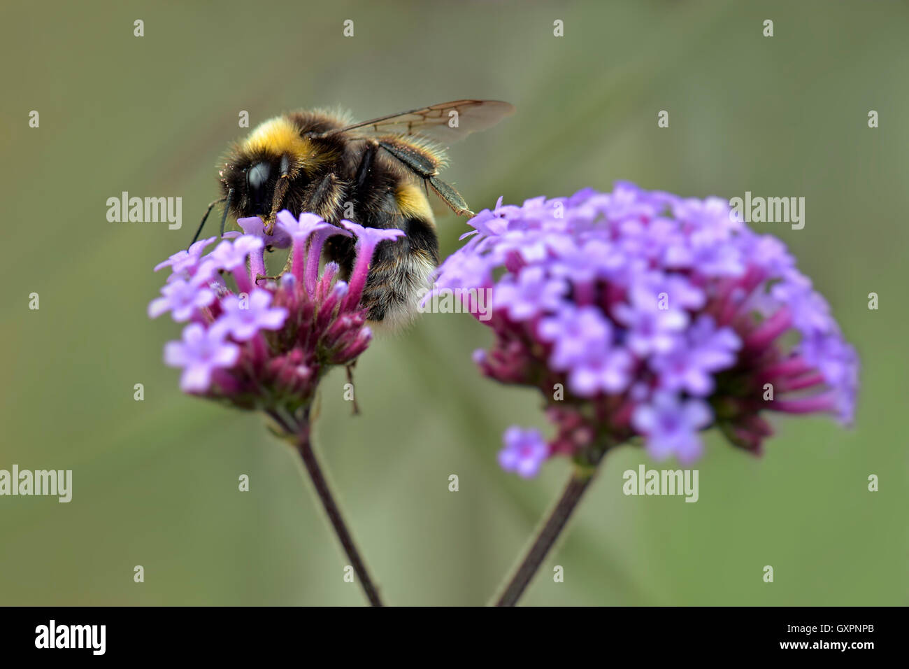 Abeille sur fleur de verveine Photo Stock