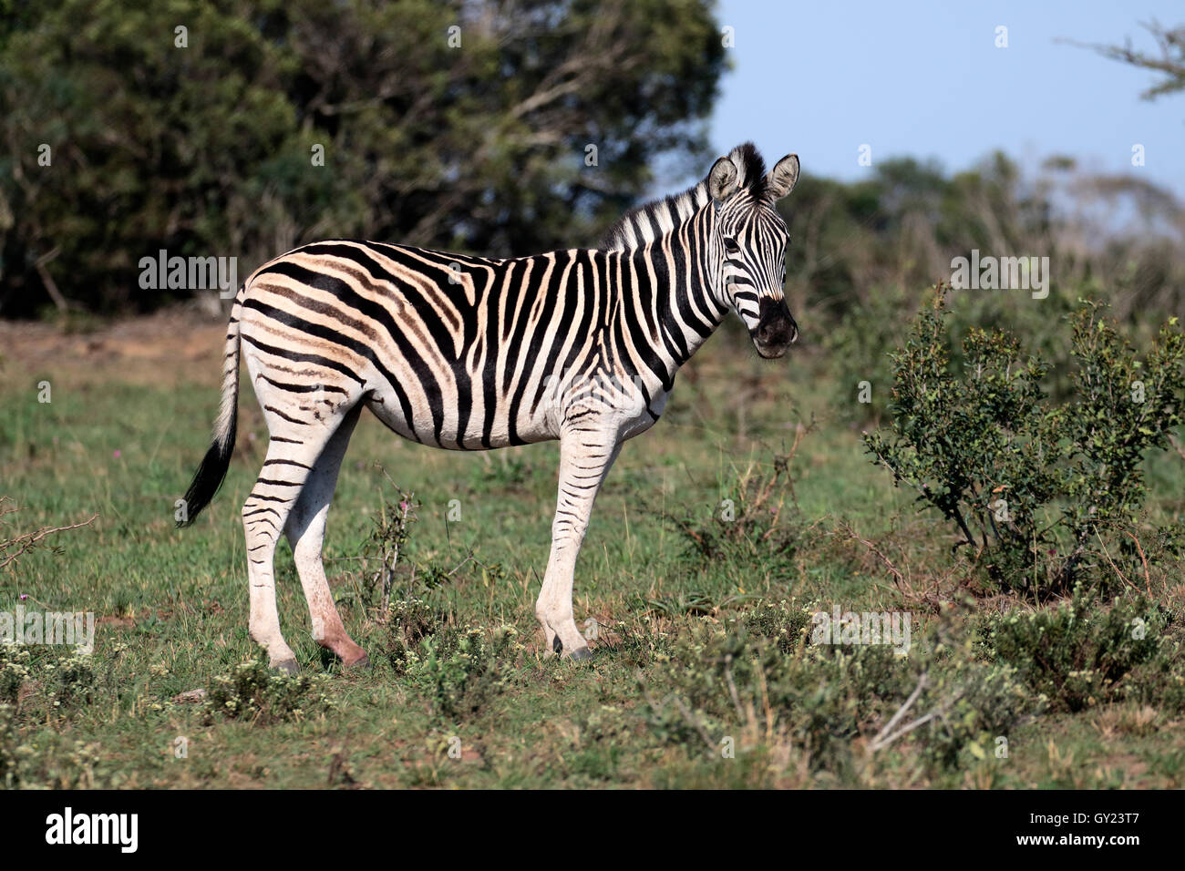 Zèbre des plaines ou zèbre commun, Burchell, Equus quagga zebra, seul mammifère, Namibie, août Photo Stock