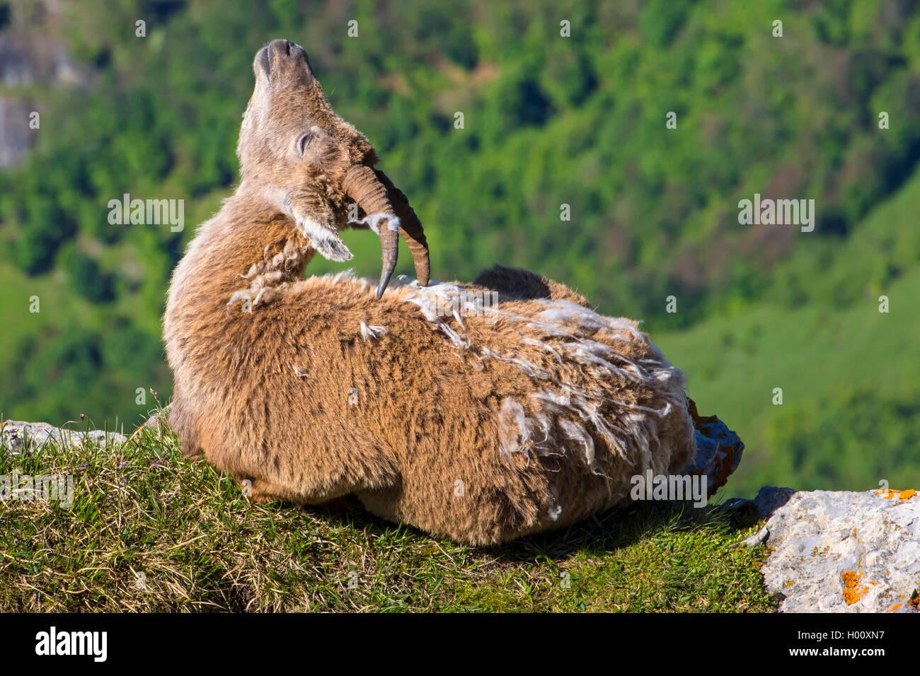 , Alpen-Steinbock Alpensteinbock (Capra ibex, Capra ibex ibex), Geiss im Fellwechsel liegt auf einer sich und kratzt Photo Stock