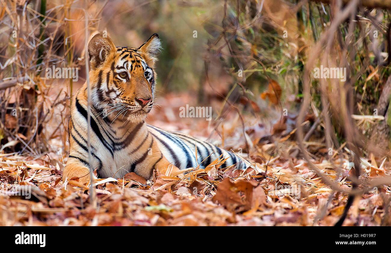 Koenigstiger, Indischer Tiger, Bengaltiger (Panthera tigris tigris), Tigerjunges schließen im Wald, Indien, Photo Stock