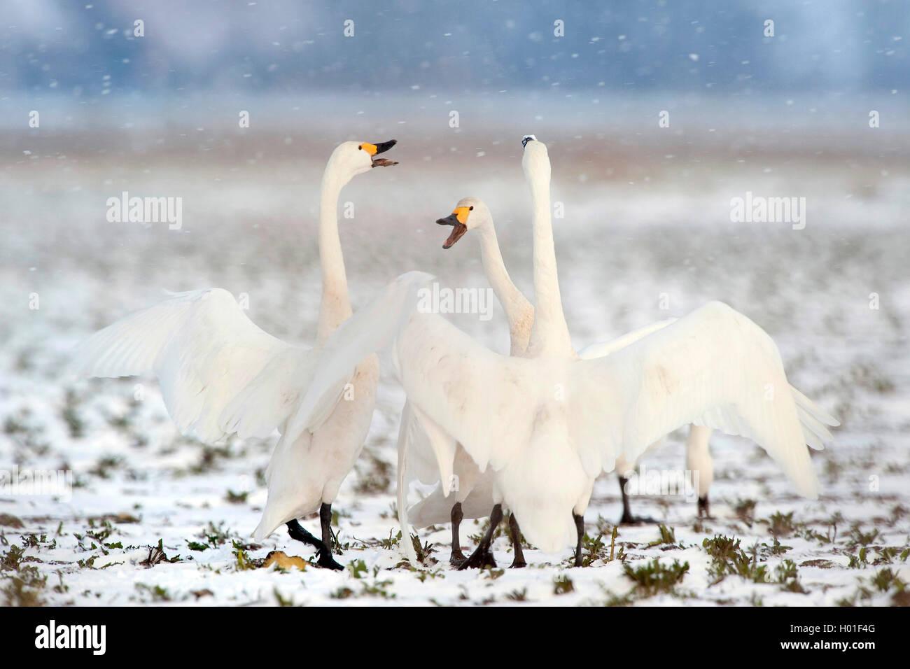 Singschwan, Sing-Schwan (Cygnus cygnus), drei Singschwaene bei Schneefall, Schweden   cygne chanteur (Cygnus cygnus), trois whoope Banque D'Images