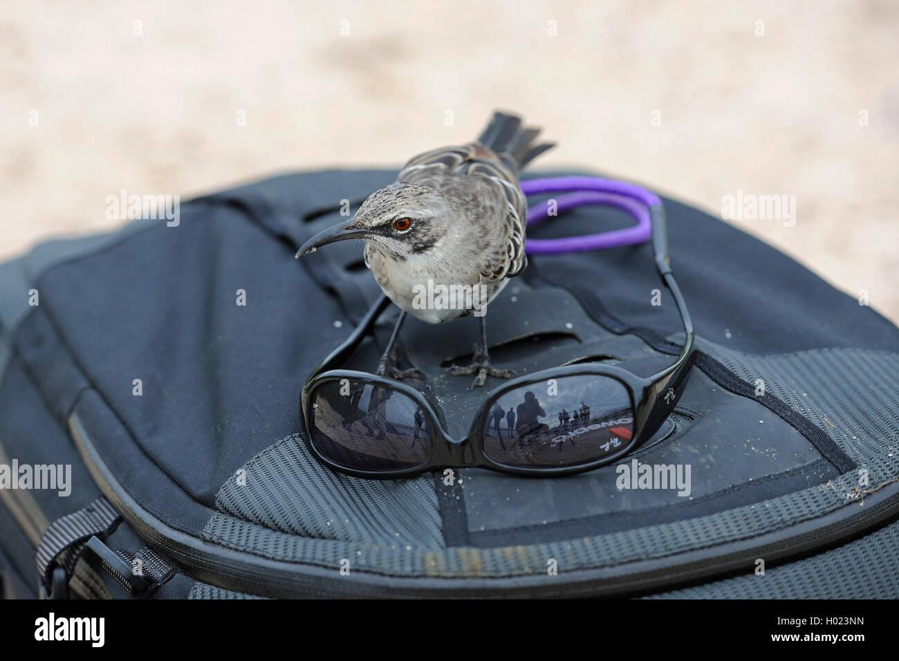 Hood mockingbird, Espanola mockingbird (Nesomimus macdonaldi, Nesomimus parvulus macdonaldi), s'intéresse à des lunettes de soleil sur une photo sac à dos, l'Équateur, Îles Galápagos, Espanola Banque D'Images