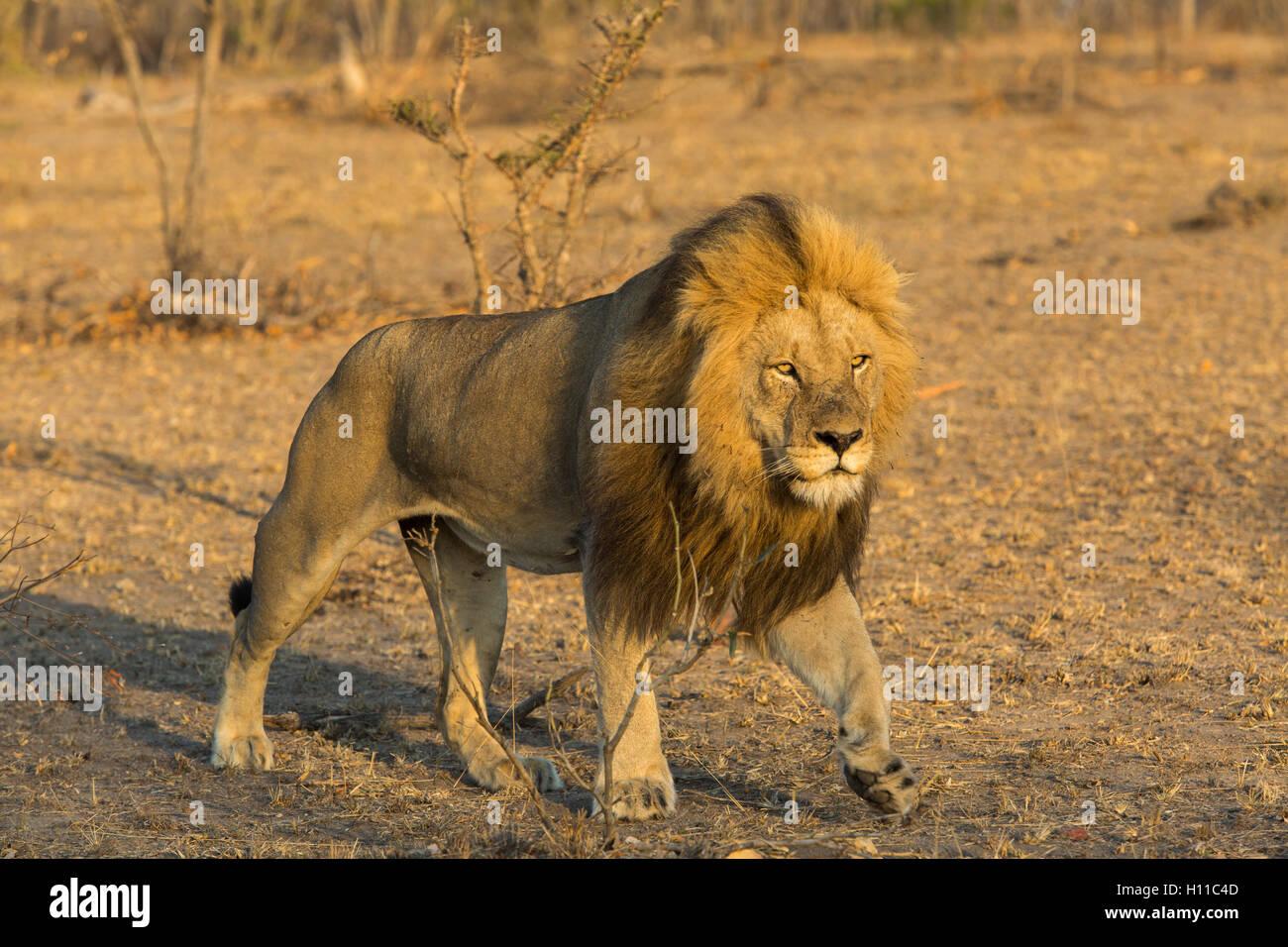 Grand male lion (Panthera leo) en mouvement dans un éclairage chaleureux Photo Stock