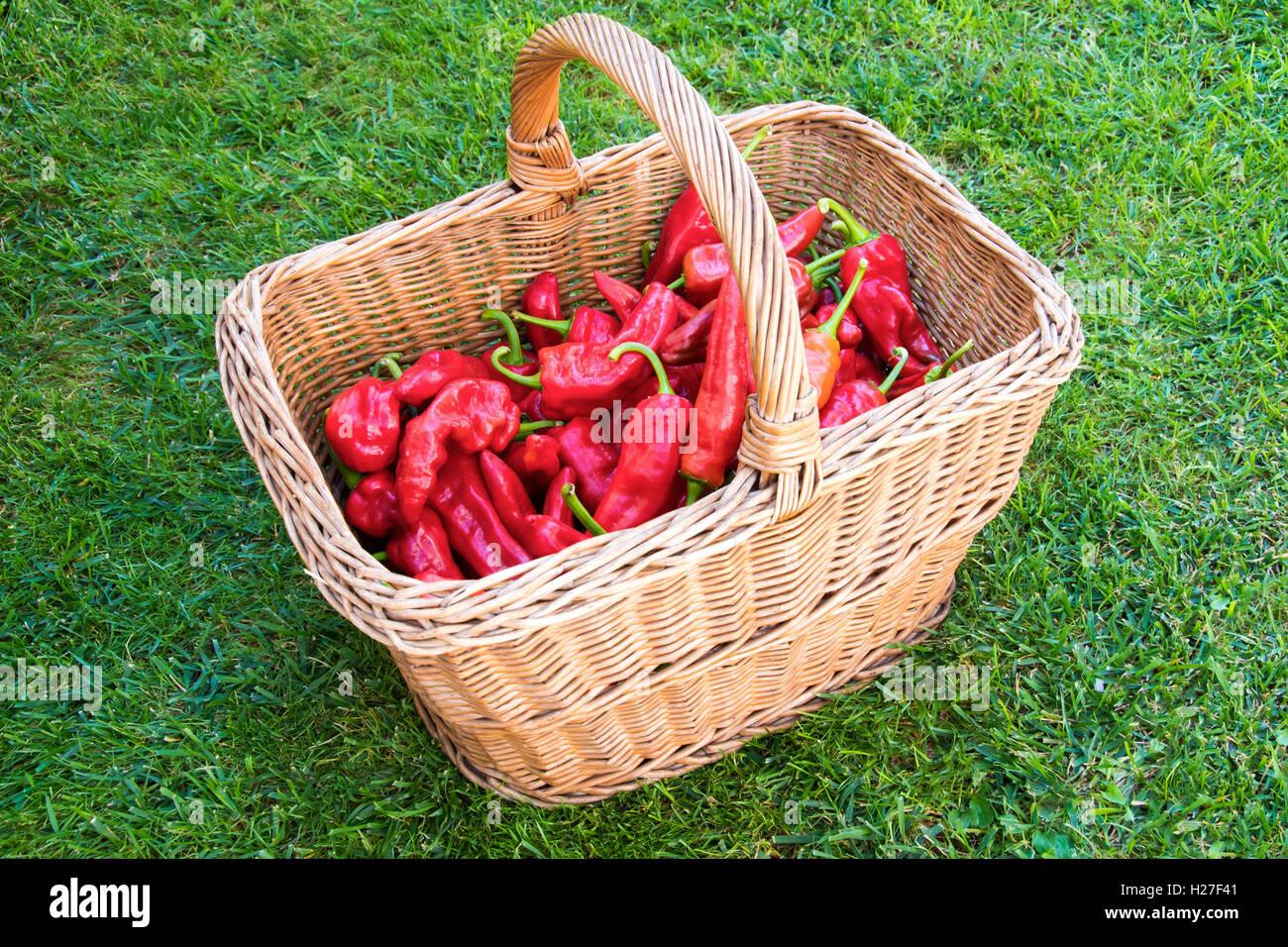 Poivre rouge de l'agriculture biologique dans un panier fait de brindilles sur une herbe. Photo Stock