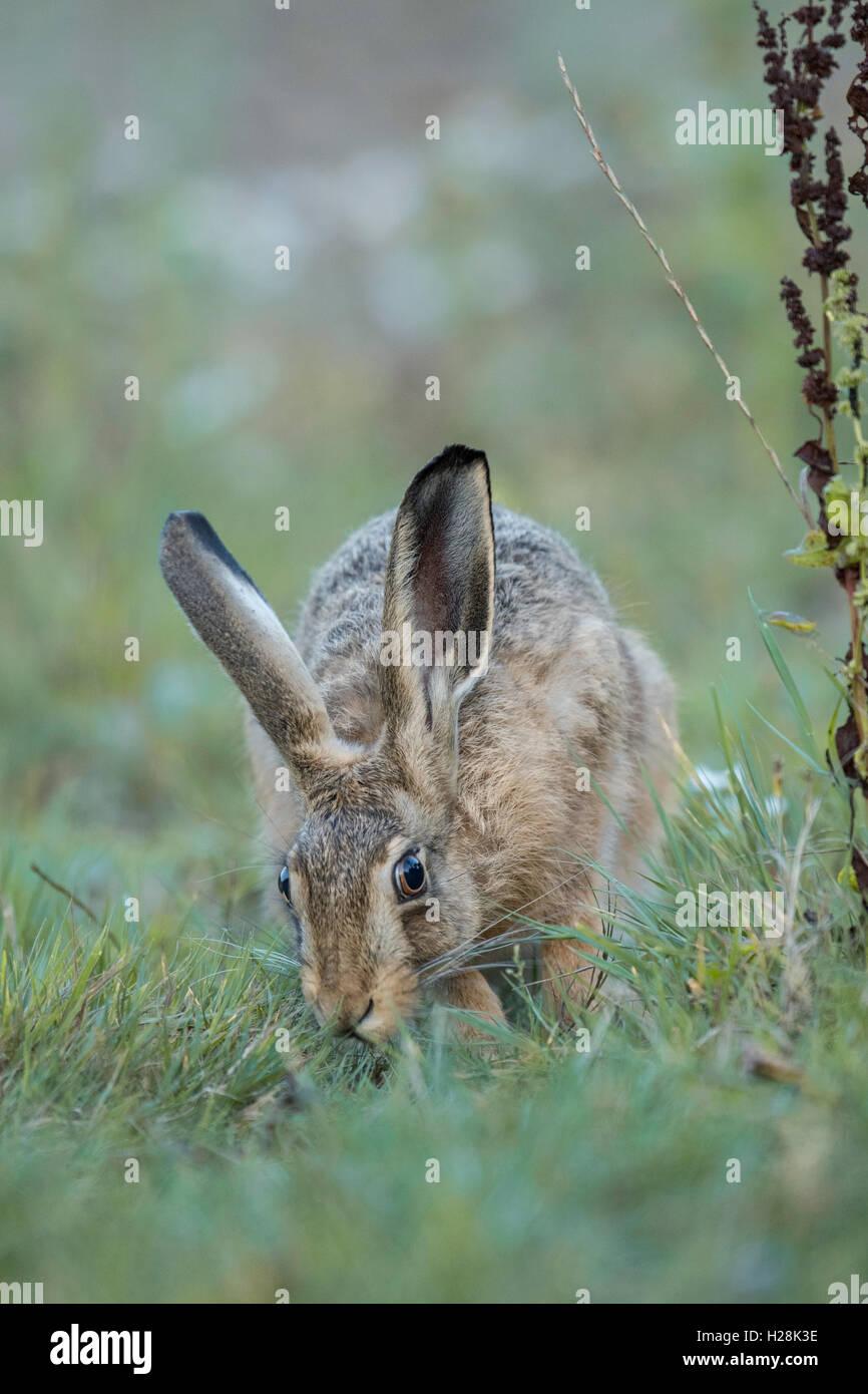 Lièvre brun (Lepus europaeus) l'alimentation. Photo Stock
