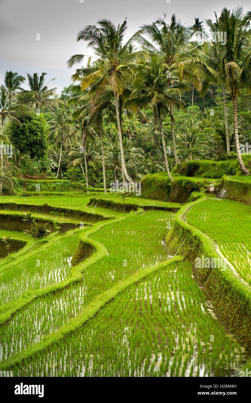 L'INDONÉSIE, Bali, Tampaksiring, Temple de Gunung Kawi complexe, les rizières en terrasses irriguées Photo Stock