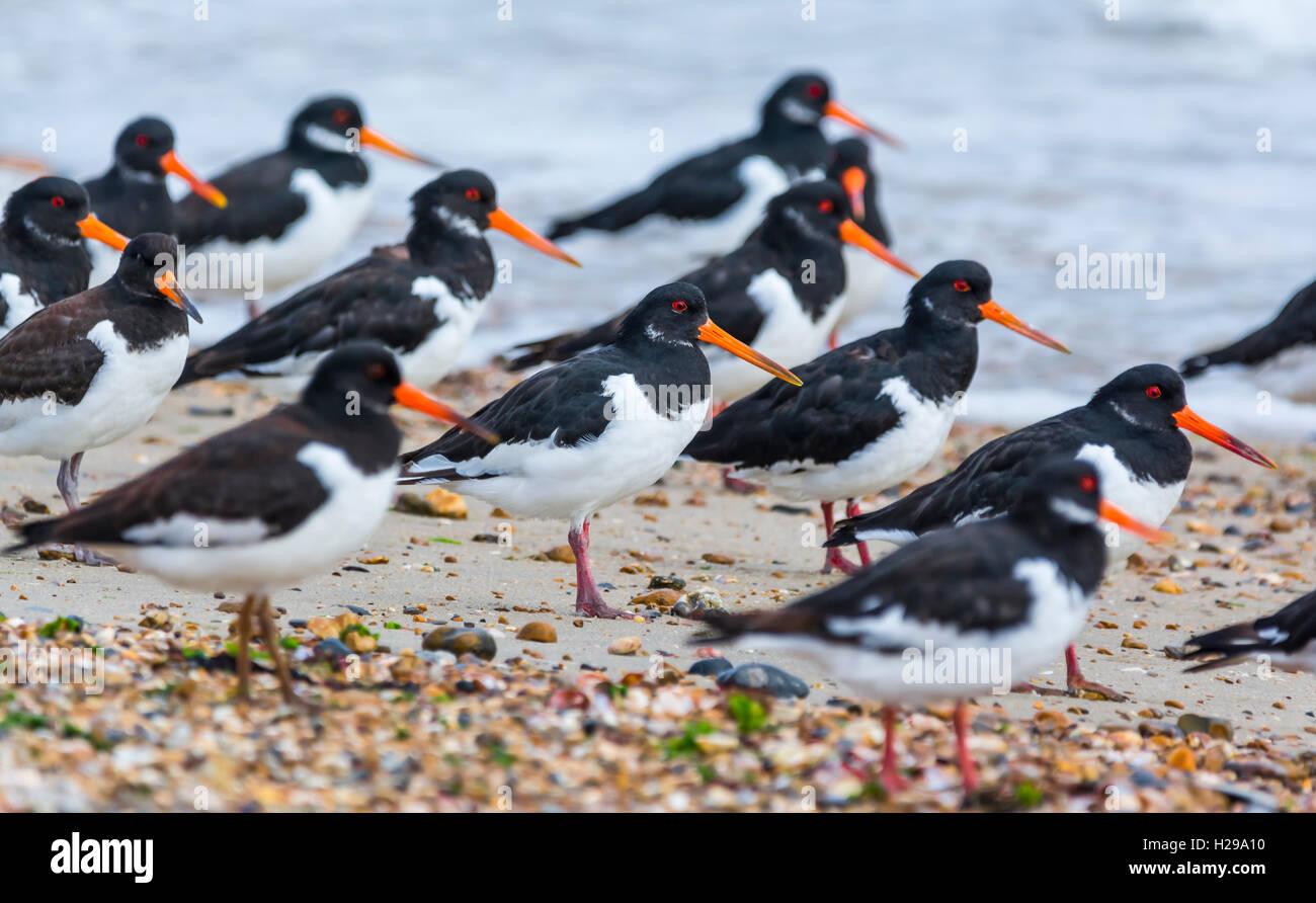 Les huîtriers (Haematopus ostralegus). Troupeau d'oiseaux de l'huîtrier debout sur une plage au Photo Stock